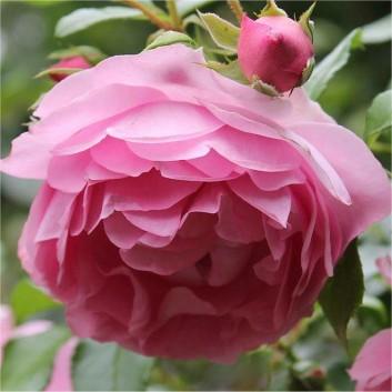 Rose Friends Forever - Floribunda Rose