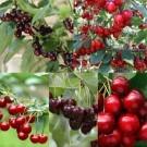 CHERRY TREE - Multi-Variety Fruit Tree - CHERRY - 5 varieties on one Tree!