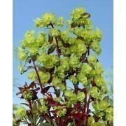 Euphorbia amygdaloides Purpurea - Purple Leaf Euphorbias