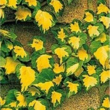 Hedera helix Goldheart - Evergreen Ivy