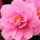 Camellia Spring Festival - Pink Blooming Evergreen in Bud