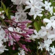 Perfumed Chinese Jasmin - Jasminum polyanthemum - Large Plant