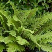 Polystichum setiferum 'Herrenhausen' - Soft Sheild Fern