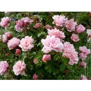 Rose Albertine - Climbing Rambling Rose