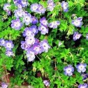 Geranium Buxtons Variety