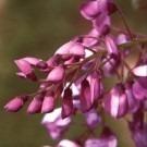 Wisteria brachybotrys ''Okayama'' - Rare Purple-Violet Japanese Wisteria