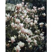 Magnolia Soulangeana - Large Plant