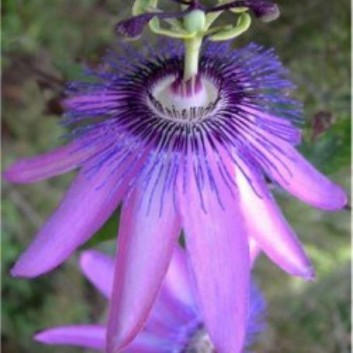 Passiflora Amethyst (Lavender Lady) - Passion Flower