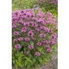 Monarda Croftway Pink - Bergamot