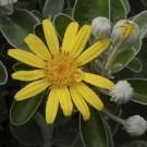 Brachyglottis Sunshine - Senecio Greyii