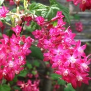 Ribes sanguineum Amour - Amore Flowering Currant