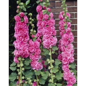 Alcea Chaters Double Rose Pink - Hollyhock (Althea)