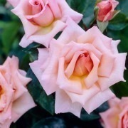 Rose Compassion - Climbing Rose
