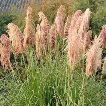Cortaderia selloana Rosea - Pink Pampas Grass