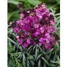 Erysimum Bowles Mauve - Perennial Wallflower