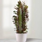 Large African Milk Tree - Euphorbia trigona rubra  - Large indoor Cactus in White Pot