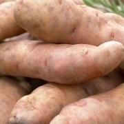 Pink Fir Apple - Salad/Main Crop Seed Potatoes - Pack of 10