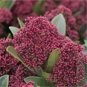 SPECIAL DEAL - Skimmia japonica Rubella - Pack of THREE Plants