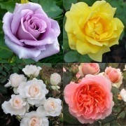 SPECIAL DEAL - 5 Climbing Roses + 5 Bush Roses