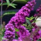 Buddleia Flutterby Petite Tutti Fruitti Pink - Dwarf Buddleja - New & Exclusive