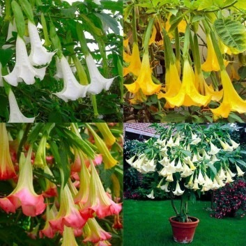 Brugmansia - Angels Trumpet Plant Collection - White, Yellow & Pink