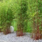 Fargesia ASIAN WONDER - Clumping Umbrella Bamboo