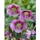 Helleborus orientalis Pink Lady - Hellebore
