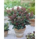 Skimmia japonica Rubella - Pack of THREE Plants