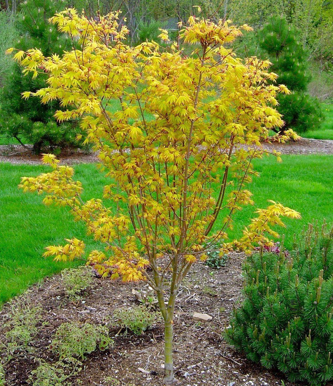 Acer palmatum orange dream for Garden trees shrubs