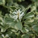 Pachysandra terminalis variegata - Variegated Japanese Spurge