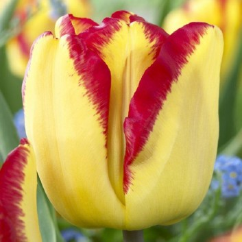 Tulipa Cape Town - Two Tone Tulips