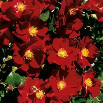 Rose Flower Carpet Ruby