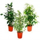 Collection of THREE Different Weeping Fig Trees - House Plants