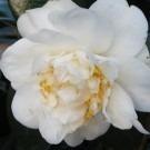 Camellia japonica Moshe Dayan