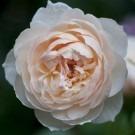 Rose The Shepherdess ® - David Austin ® Shrub Rose