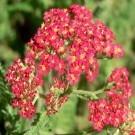Achillea millefolium 'The Beacon' - Yarrow