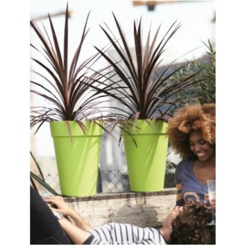 SPECIAL DEAL - Cordyline australis Red Star - Patio Torbay Palm - Pack of TWO