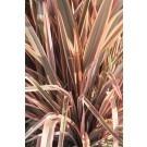 Phormium Rainbow Queen - New Zealand Flax