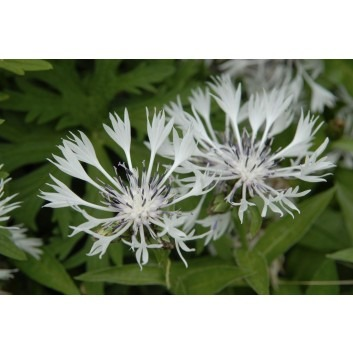 Centaurea montana 'Alba' - Centurea