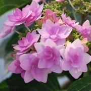 Hydrangea macrophylla Romance - Star Flowered Hydrangea