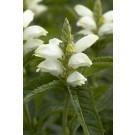 Chelone obliqua alba - White Turtle Head Flower
