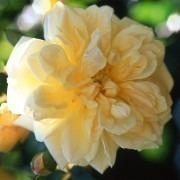 Rose Gardenia - Climbing Rambling Rose
