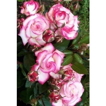 Rose Handel - Climbing Rose