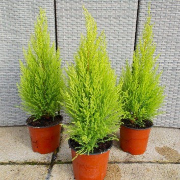 SPECIAL DEAL - Lemon Scented Monterey Cypress Goldcrest - Pack of  THREE Plants