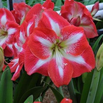 Goliath Sized Amaryllis Monte Carlo with Planter Basket