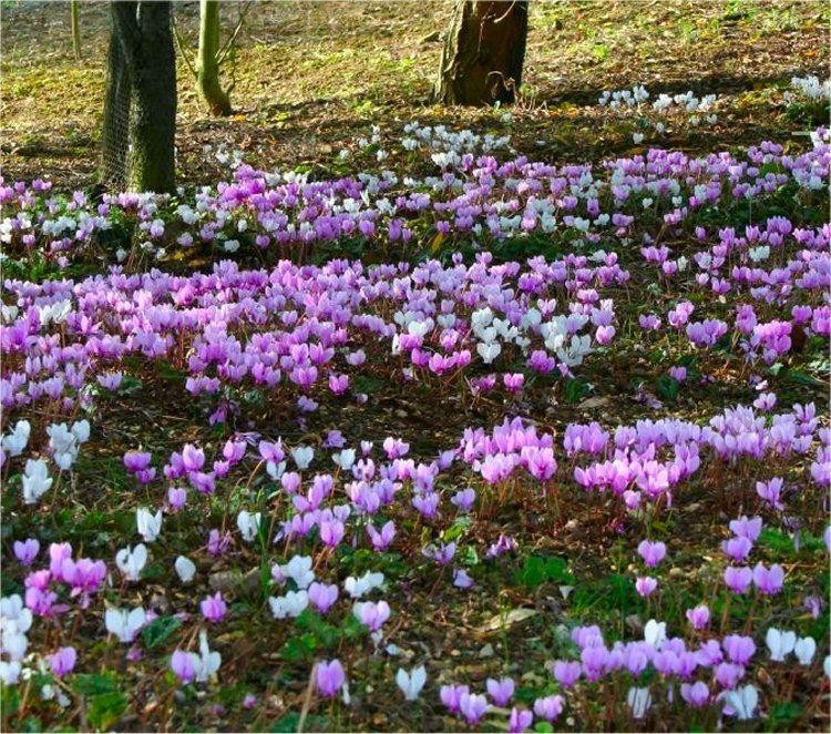 Hardy cyclamen coum pack of three plants in bud - Hardy office plants ...