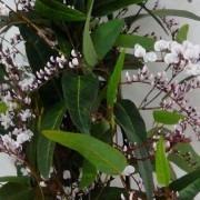 "Hardenbergia violacea Alba ""Free N Easy"" - Evergreen White Coral Pea"