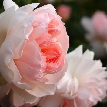 Rose Sharifa Asma ® - David Austin ® Shrub Rose