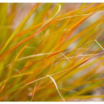 Stipa arundinacea - Pheasant's Tail Grass - Anemanthele lessoniana