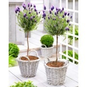 SPECIAL DEAL - Pair of Beautiful French Lavender Mini Trees